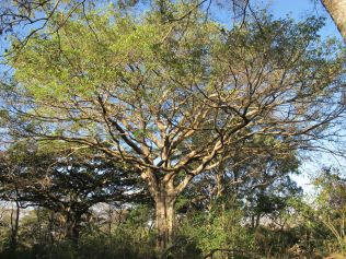 Tree in Wondo Genet College – habitat for many animals
