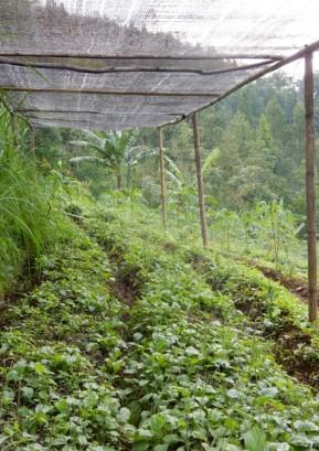 Plantago major (© Astutik)