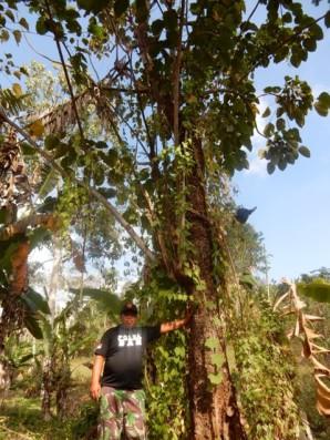 Forest farming (©Astutik)