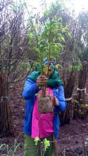 Bamboo seedling for plantation