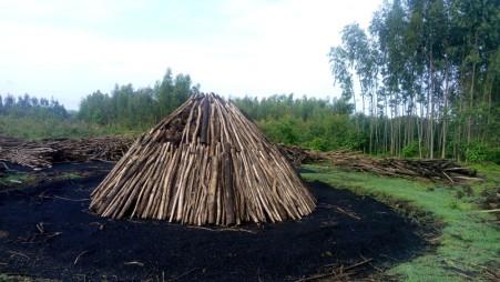Eucalyptus logs for charcoal