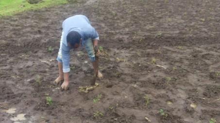 Family-farm planting Acacia decurrens seedlings on Teff-sown plot