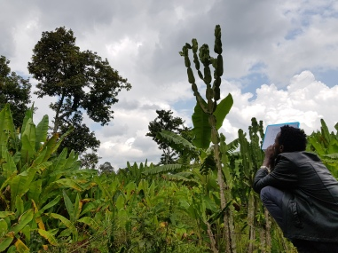 Interviewing a farmer while harvesting avocadoes (©Hintz)